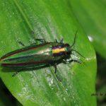 今朝の散歩中に出会った昆虫:タマムシ 2014.6.13 栃木県小山市