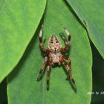 今朝の散歩中に出会ったクモ:ヤマシロオニグモ 2014.6.15 栃木県小山市