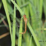 今朝の散歩中に出会った昆虫:アキアカネ 2014.6.16 栃木県小山市