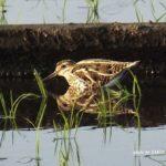 今朝の散歩中に出会った鳥:タシギ 2014.5.4 栃木県小山市