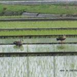 今朝の散歩中に出会った鳥:カルガモ 2014.5.5 栃木県小山市