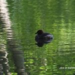 今朝の散歩中に出会った鳥:カイツブリ 2014.5.7 栃木県小山市