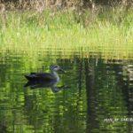 今朝の散歩中に出会った鳥:カルガモ 2014.5.7 栃木県小山市