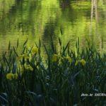 今朝の散歩中に出会った花:キショウブ 2014.5.7 栃木県小山市