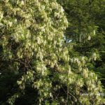 今朝の散歩中に出会った花:ニセアカシア満開 2014.5.8 栃木県小山市