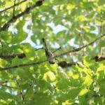 今朝の散歩中に出会った鳥:エナガ 2014.5.11 栃木県小山市