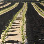 今朝の散歩中に出会った景色:トウモロコシ畑 2014.5.11 栃木県小山市