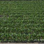 ウチの前のトウモロコシ畑 2014.5.12 栃木県小山市