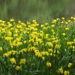 今朝の散歩中に出会った花:キショウブ 2014.5.13 栃木県小山市