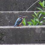 今朝の散歩中に出会った鳥:カワセミ 2014.5.15 栃木県小山市