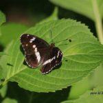 今朝の散歩中に出会った昆虫:イチモンジチョウ 2014.5.18 栃木県小山市