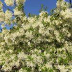今朝の散歩中に出会った花:ナンジャモンジャの花 2014.5.18 栃木県小山市