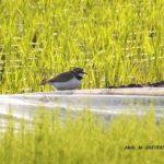今朝の散歩中に出会った鳥:コチドリ 2014.5.19 栃木県小山市