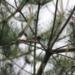 今朝の散歩中に出会った鳥:エナガ 2014.5.23 栃木県小山市