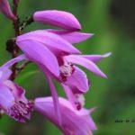 今朝の散歩中に出会った花:シラン 2014.5.25 栃木県小山市