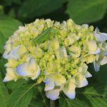 今朝の散歩中に出会った花:アジサイ 2014.5.30 栃木県小山市