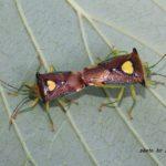 今朝の散歩中に出会った昆虫:ハートのエース2枚 2014.5.31 栃木県小山市
