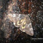 今夜の散歩中に出会った昆虫:キシタバ 2014.6.3 栃木県小山市