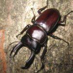 今夜の散歩中に出会った昆虫:コクワガタ  2014.6.3  栃木県小山市