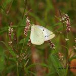 今朝の散歩中に出会った昆虫:モンキチョウ ♀ 2014.6.3 栃木県小山市
