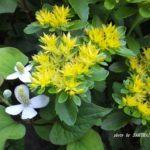 今朝の散歩中に出会った花:黄色い花??? 2014.6.4 栃木県小山市
