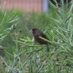 今朝の散歩中に出会った鳥:カワラヒワ 2014.6.6 栃木県小山市