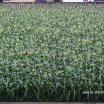 ウチの前のトウモロコシ畑 2014.6.7 栃木県小山市