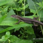 今朝の散歩中に出会った爬虫類:カナヘビ 2014.6.10 栃木県小山市