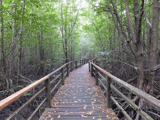 マングローブ林の木道