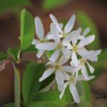 今朝の散歩中に出会った花:名前不詳の白い花 2014.4.17 栃木県小山市
