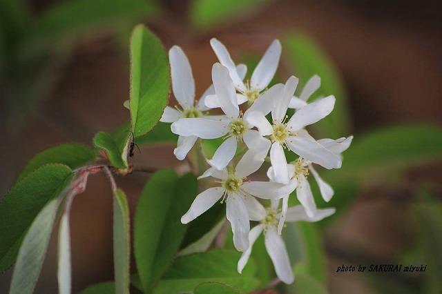 名前不詳の白い花