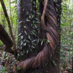 ボルネオ島で出会った植物:絞殺しの木 2014.2.12 グヌンムル国立公園