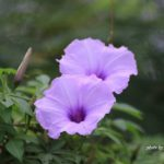 ボルネオ島で出会った花:アサガオの仲間 2014.2.11 コタキナバル