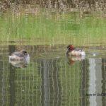 今朝の散歩中に出会った鳥:カイツブリ 2014.4.20 栃木県小山市