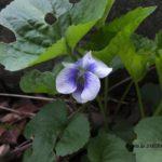 散歩中に出会った花:スミレの仲間 2014.4.20 栃木県小山市
