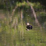 今朝の散歩中に出会った鳥:カルガモ 2014.4.22 栃木県小山市
