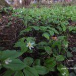 今朝の散歩中に出会った花:チゴユリ 2014.4.22 栃木県小山市