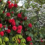 今朝の散歩中に出会った花:シャクナゲの一種 2014.4.23 栃木県小山市