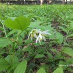 今朝の散歩中に出会った花:チゴユリの大群落 2014.4.26 栃木県小山市