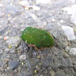 今朝の散歩中に出会った昆虫:コアオハナムグリ 2014.4.27 栃木県小山市