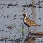 今朝の散歩中に出会った鳥:ムナグロ 2014.4.27 栃木県小山市
