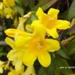 今朝の散歩中に出会った花:ジャスミン 2014.4.28 栃木県小山市