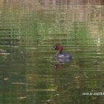 今朝の散歩中に出会った鳥:カイツブリ 2014.4.28 栃木県小山市
