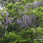 今朝の散歩中に出会った花:フジ 2014.4.29 栃木県小山市