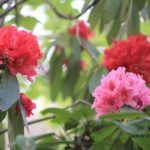 同じ木から咲く色違いのシャクナゲ 2014.4.30 栃木県小山市
