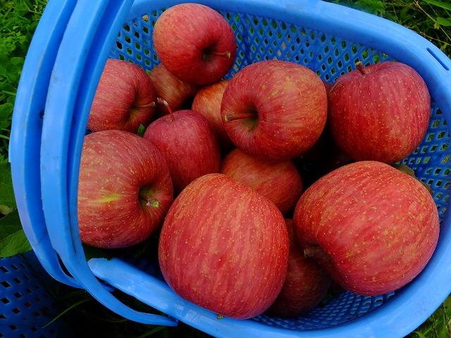 収穫したばかりのりんご ふじ 長野県山ノ内町