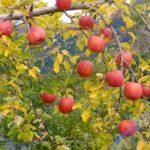 りんごの無農薬栽培がむずかしいワケ ーーー農薬メーカー元社員が語る