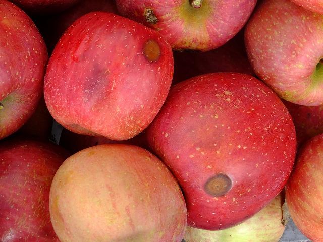 りんご輪紋病