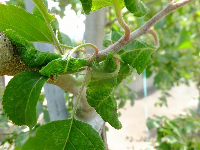 アブラムシに吸われて萎縮したりんごの葉 2019.6.14