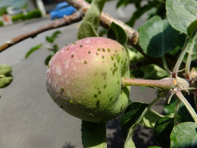 りんごの果実についたユキヤナギアブラムシ 2019.6.14